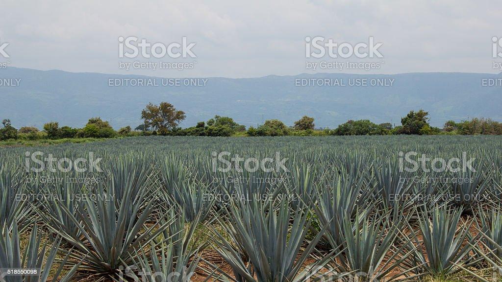Agave plantation, Tequila, Jalisco, Mexico stock photo