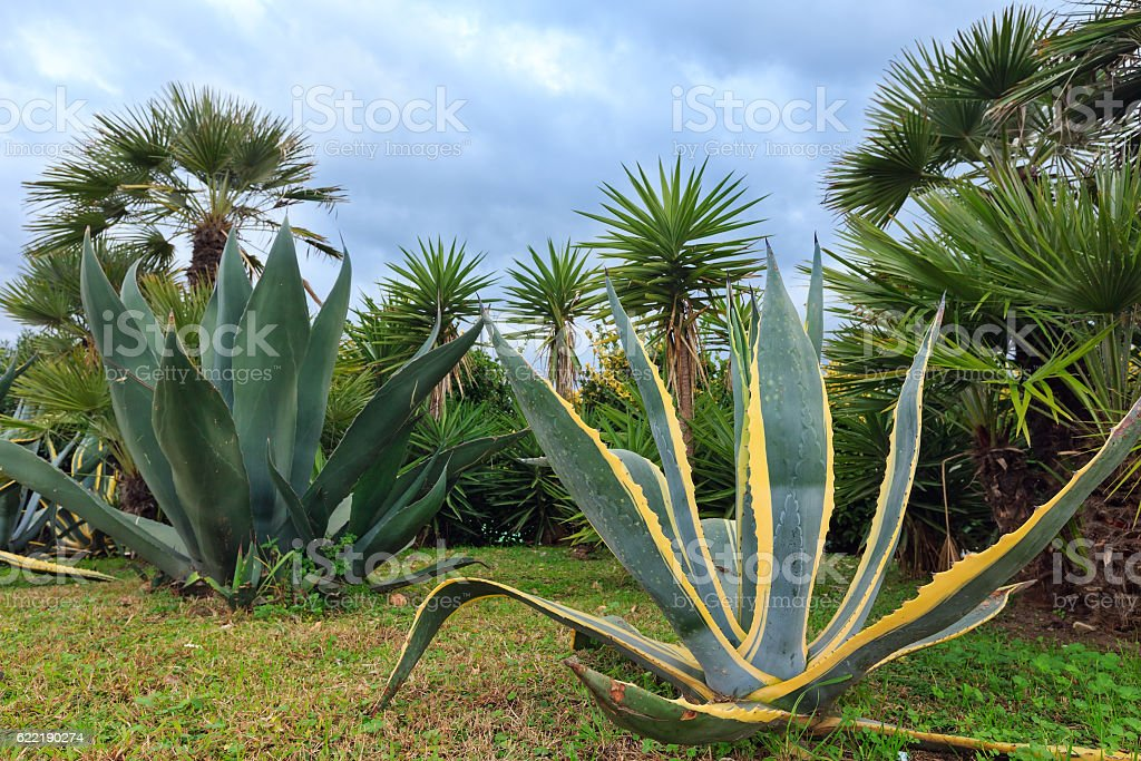 Agave plants and palm trees. stock photo