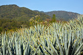 Agave Plants in Field, Mexico