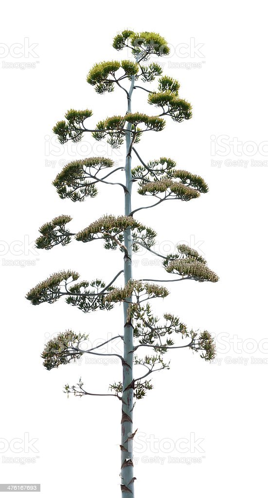 Agave Tree royalty-free stock photo