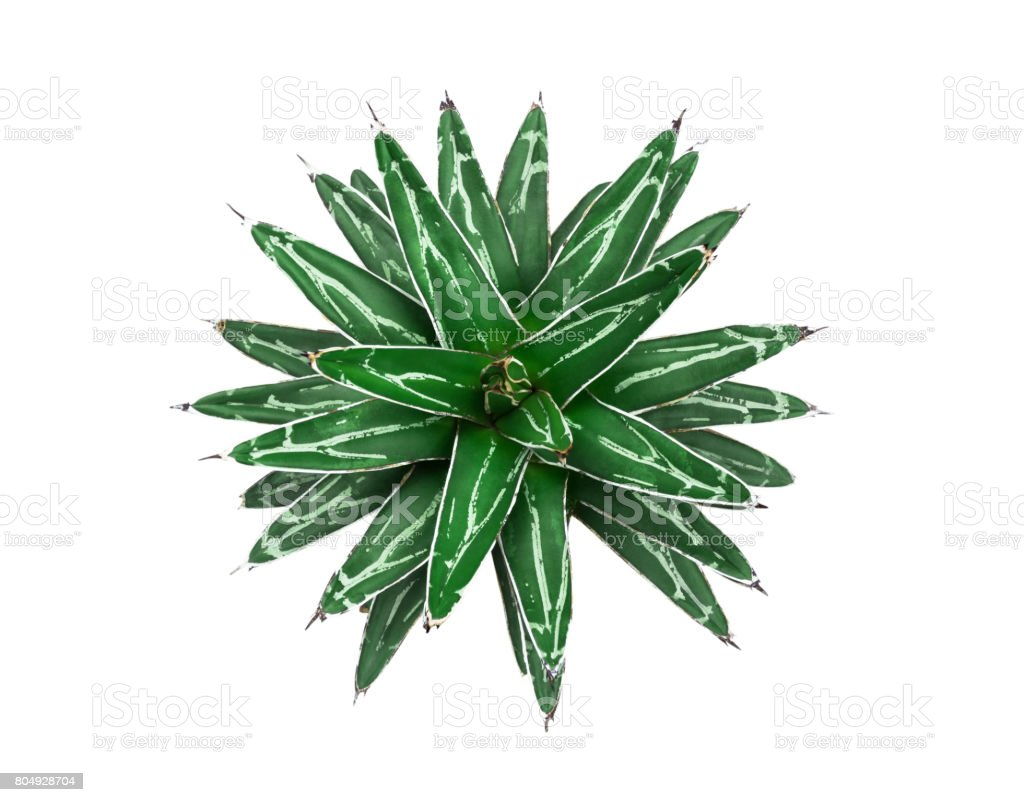 Agave victoria-reginae. Isolated on white background. (with clipping path) stock photo