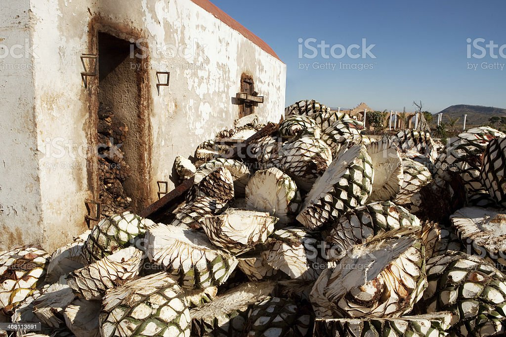Agave waiting to be roasted stock photo