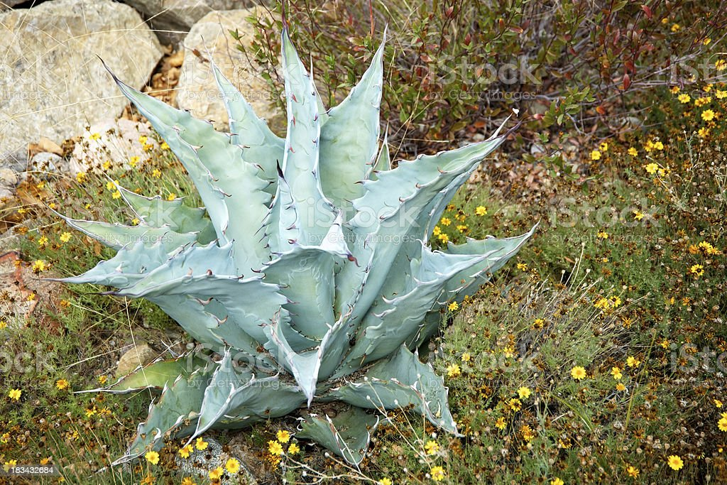 Agave Yucca Cactus Found in Arizona and Mexico royalty-free stock photo