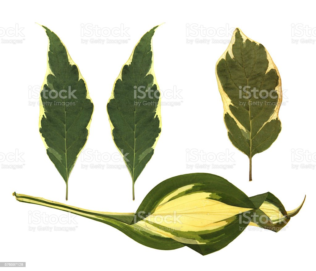 Agavoideae  leaves stock photo