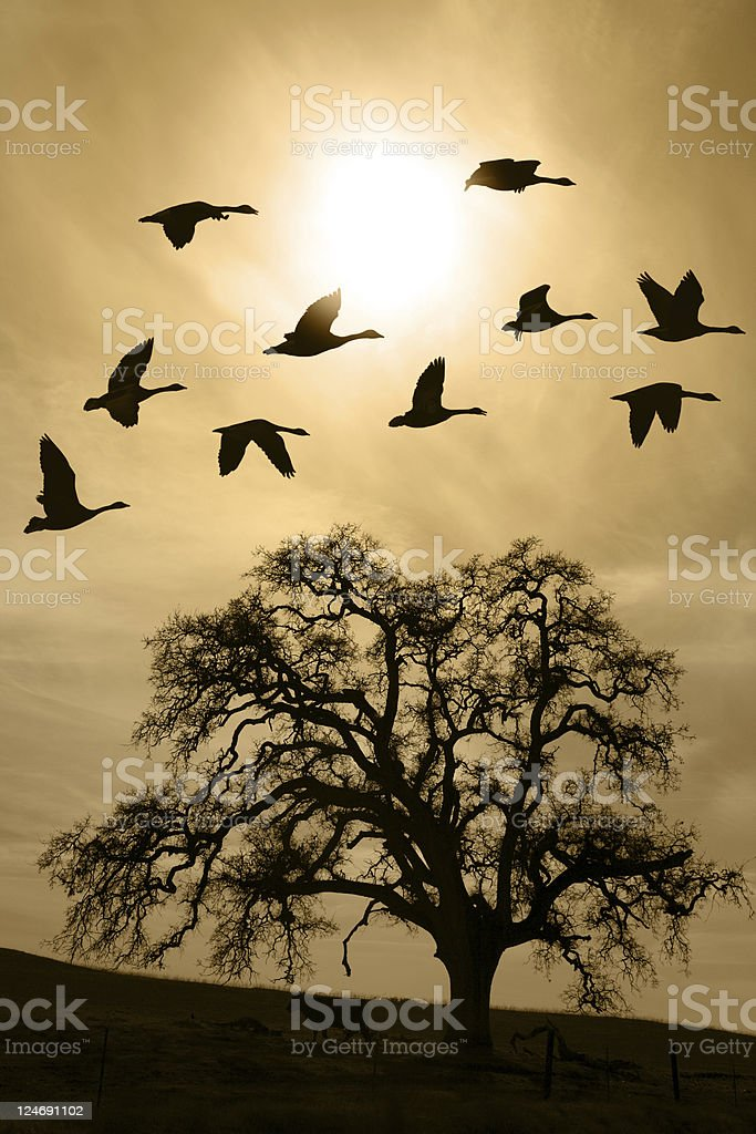 Aged Bare Oak Tree and Flying Geese royalty-free stock photo