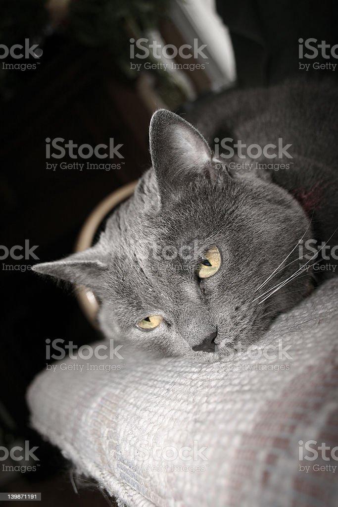 Aged Beautiful Cat royalty-free stock photo