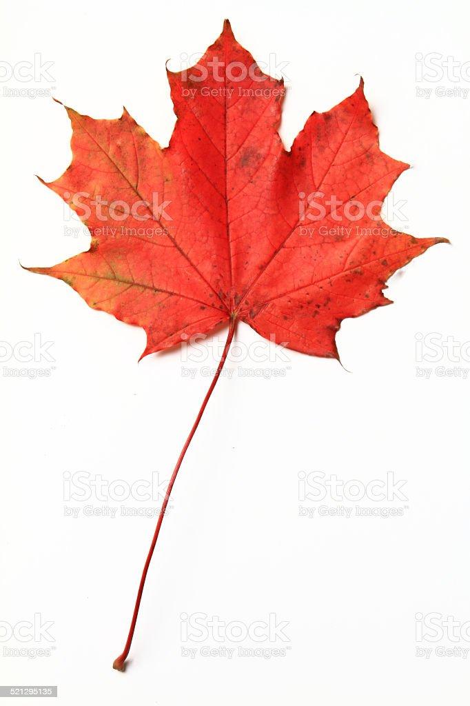 Aged Maple Leaf stock photo