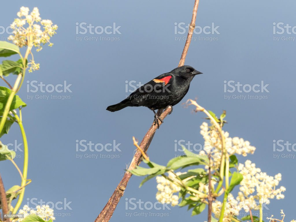 Agelaius Phoeniceus Red-winged Blackbird Perched on Branch stock photo