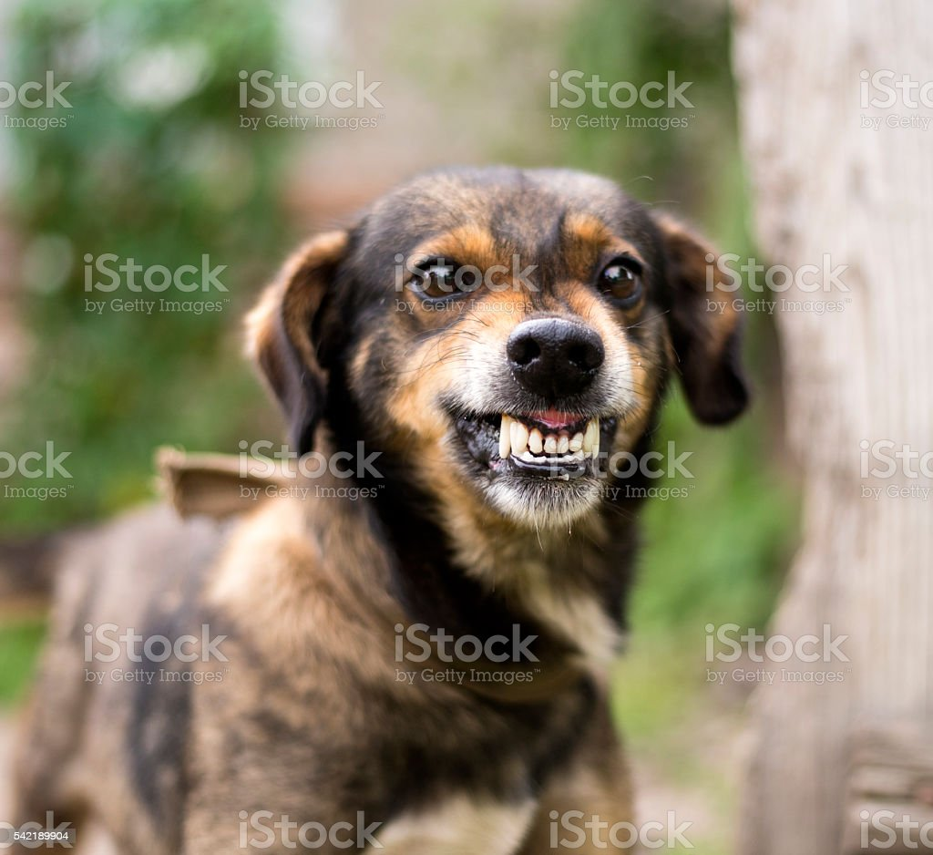 Aggressive, angry dog stock photo