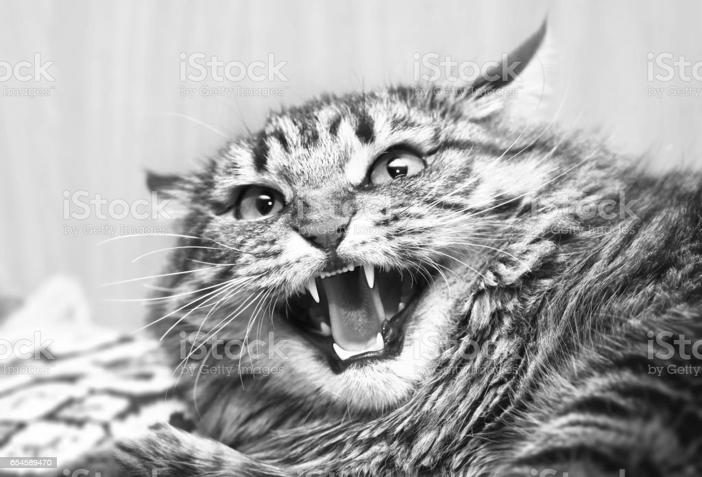 Aggressive, angry, mad, unpredictable cat. Protects against a predator attack. Blur bokeh background stock photo