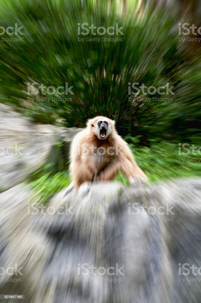 Aggressive behavior White-handed gibbon royalty-free stock photo