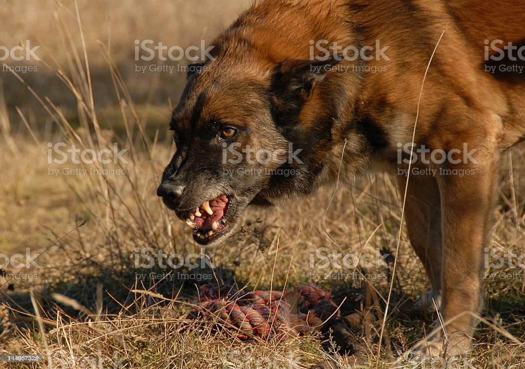 aggressive belgian shepherd stock photo