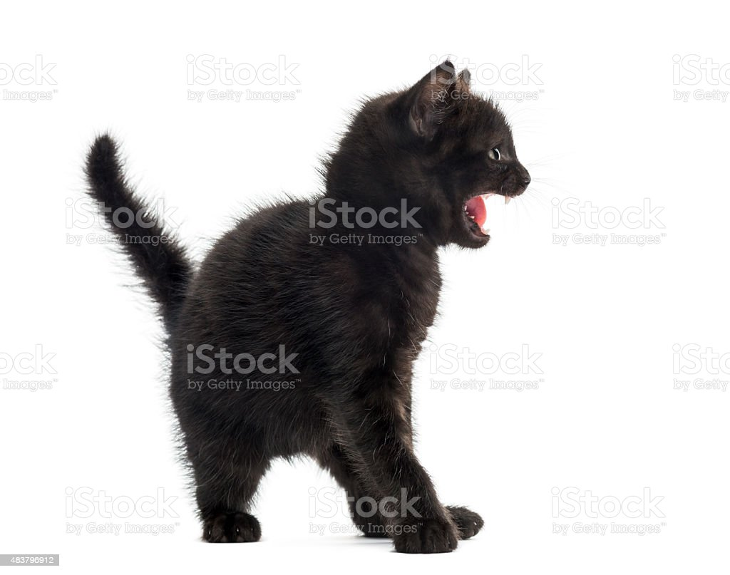 Aggressive black kitten in front of a white background stock photo