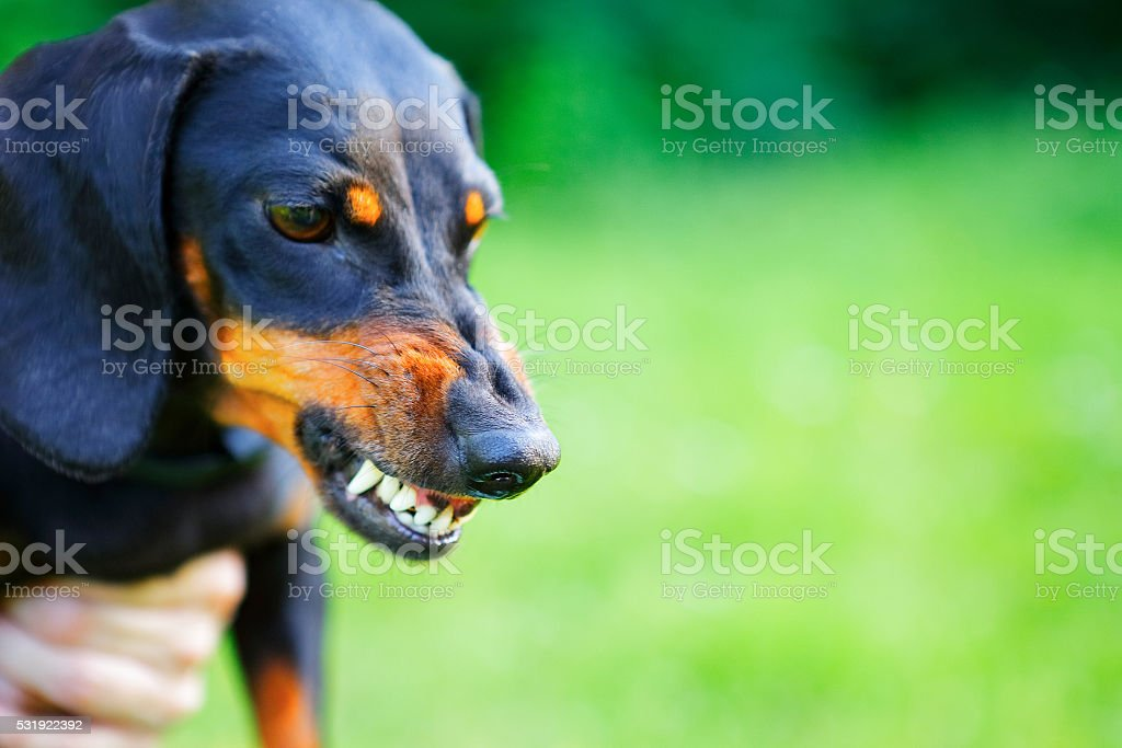Aggressive black smooth-haired dachshund bared its teeth stock photo