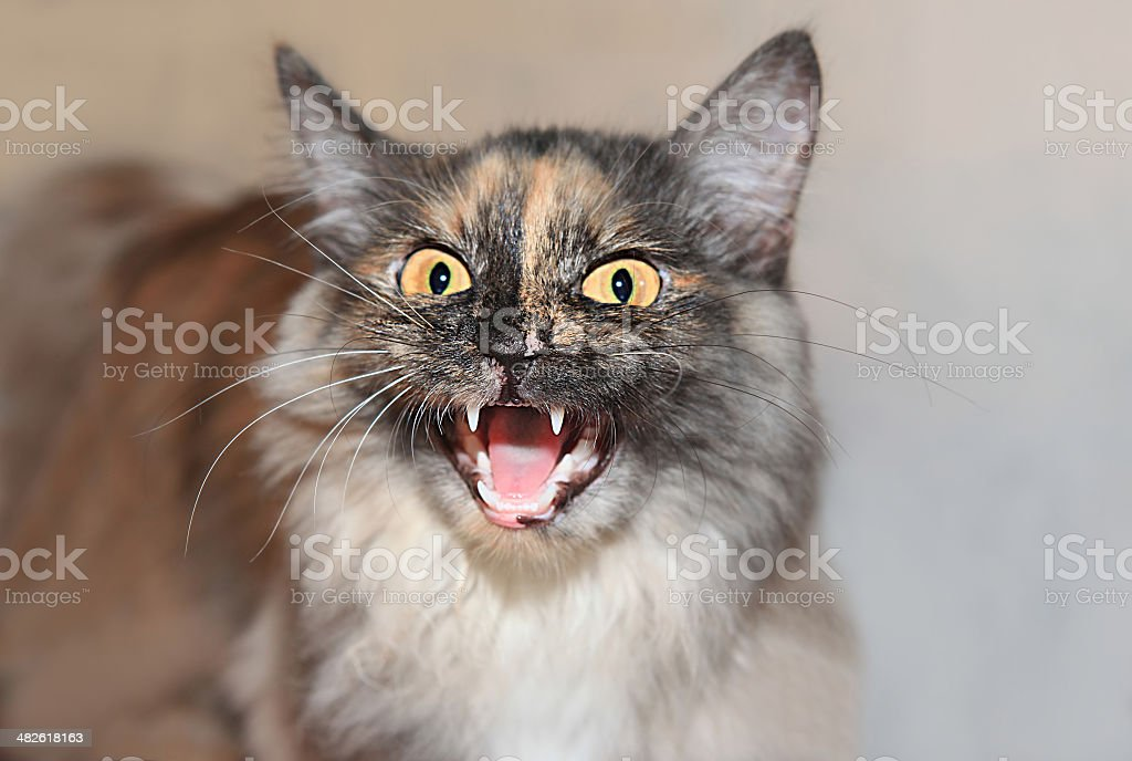 aggressive cat stock photo
