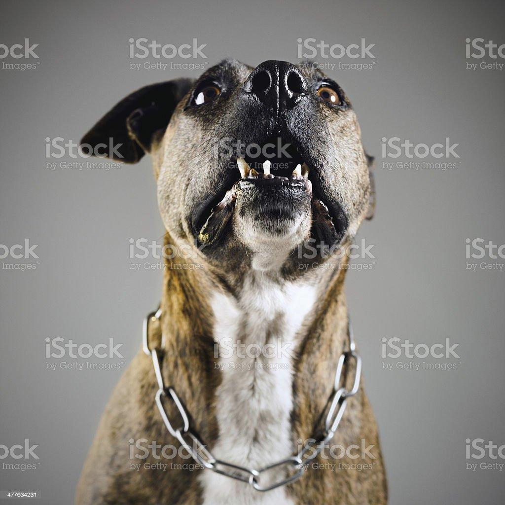 Aggressive dog royalty-free stock photo