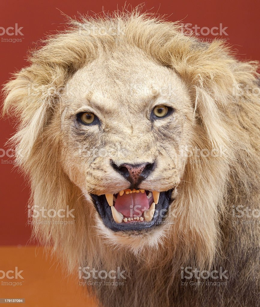 Aggressive expression of stuffed lion with red background royalty-free stock photo