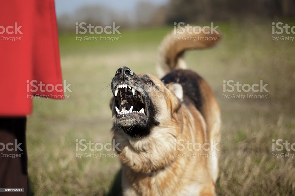 Aggressive German Shepherd stock photo