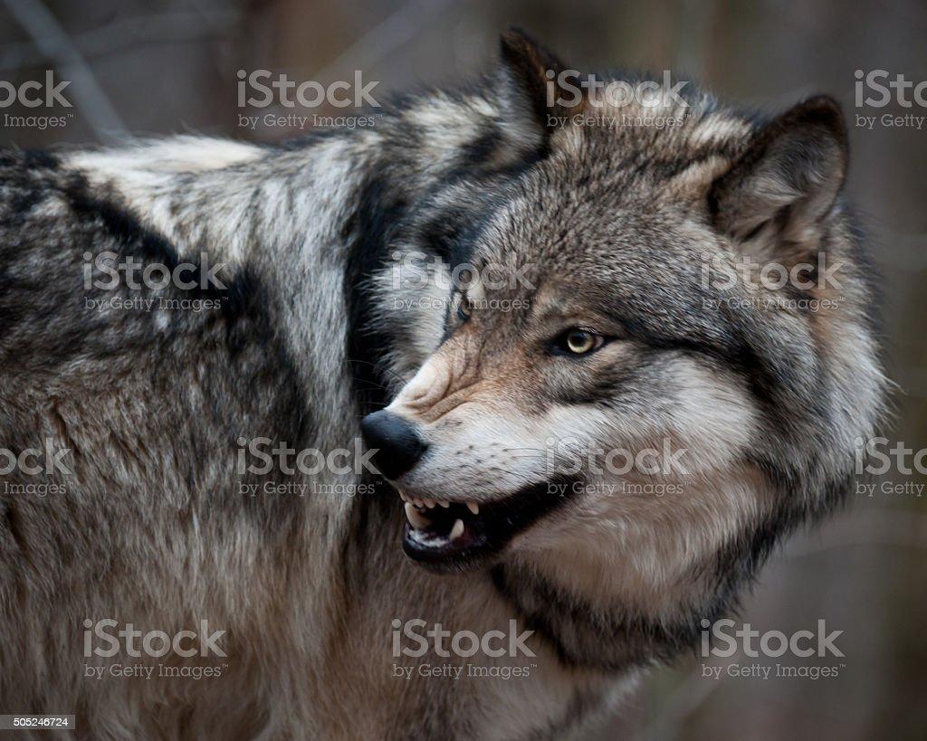 Aggressive Grey Wolf stock photo