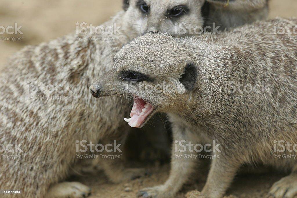 Aggressive Meerkat royalty-free stock photo