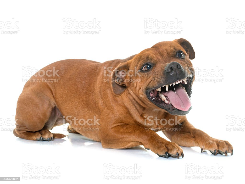 aggressive stafforshire bull terrier stock photo