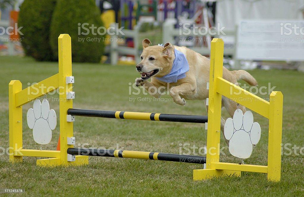 Agile Dog - Labrador royalty-free stock photo