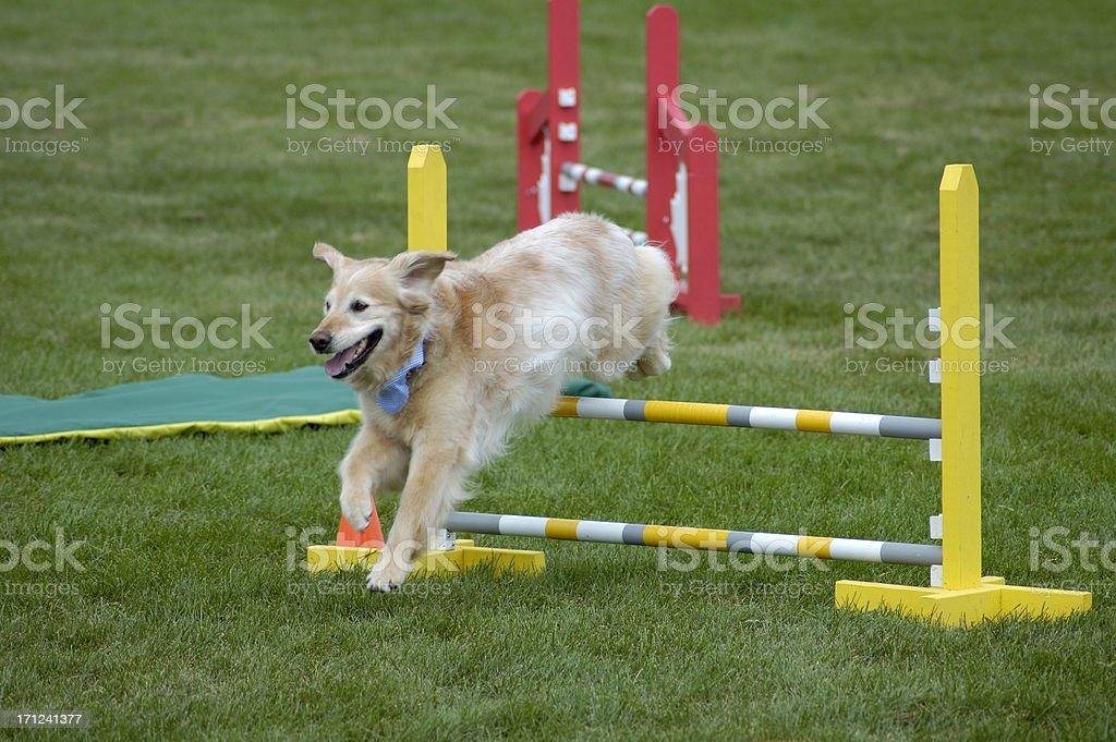 Agile dog royalty-free stock photo