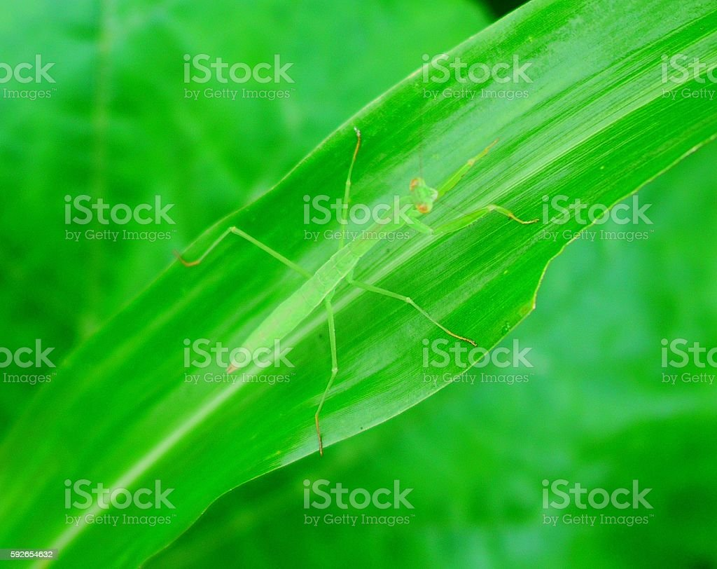 agile of mantis stock photo