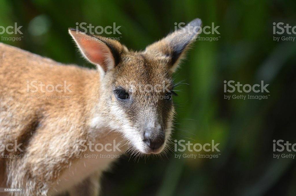 Agile wallaby in Queensland  Australia stock photo