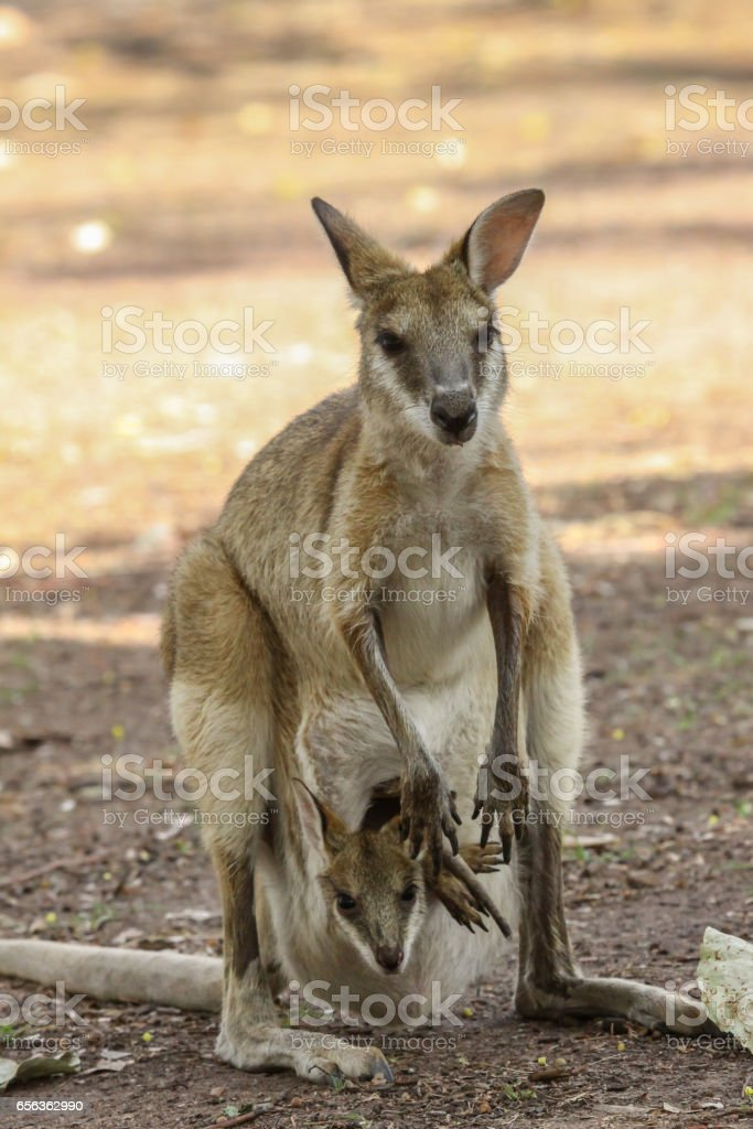 Agile wallaby mother with baby in its pouch stock photo