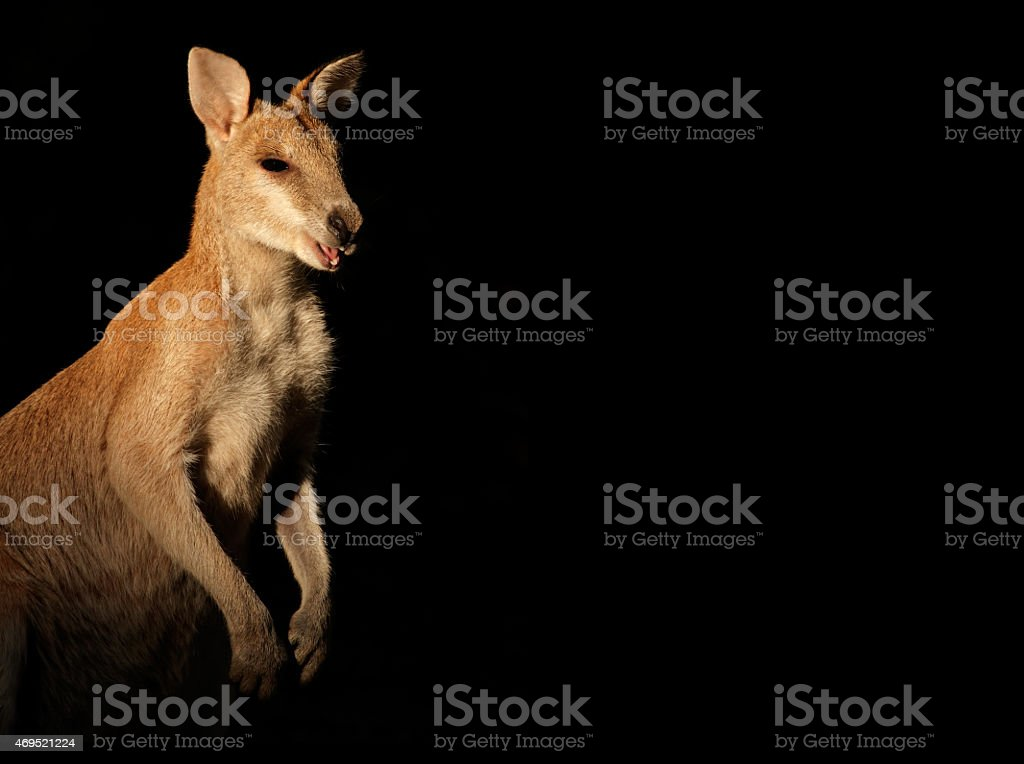 Agile Wallaby on black stock photo
