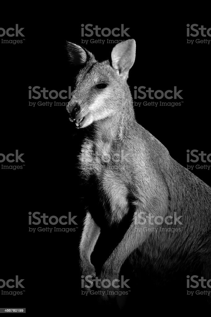 Agile Wallaby stock photo