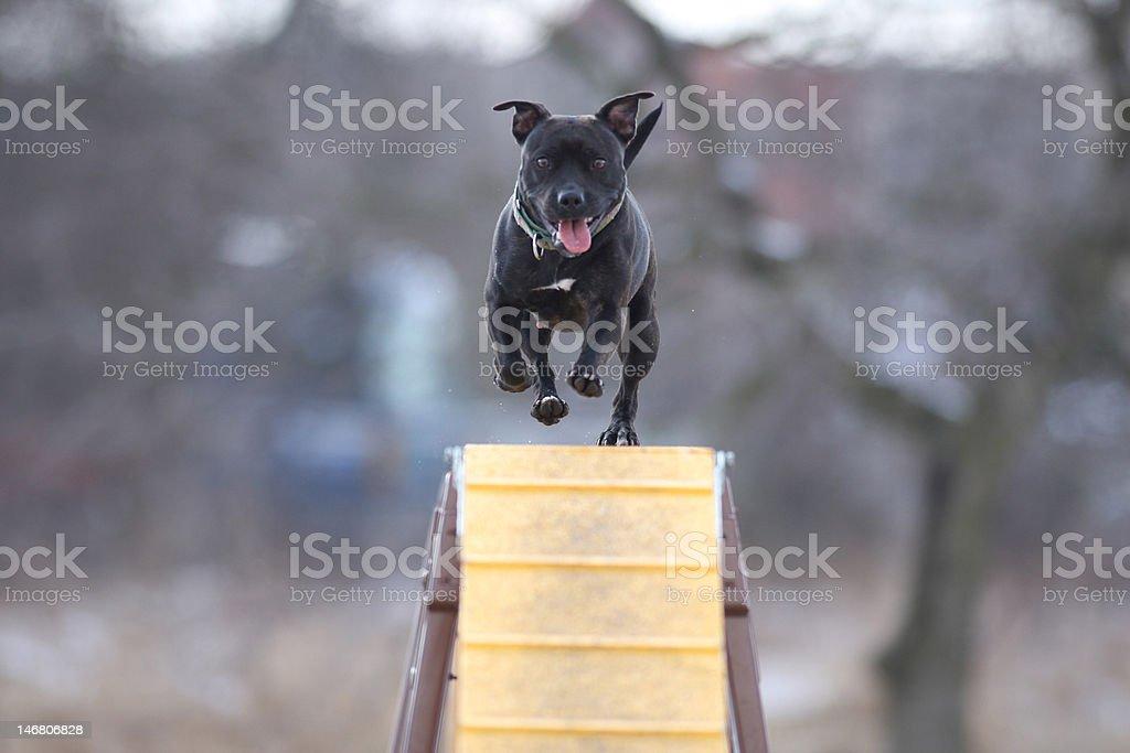 Agility! Dog jumps over the bridge. stock photo