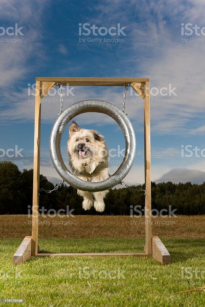 Agility Dog royalty-free stock photo