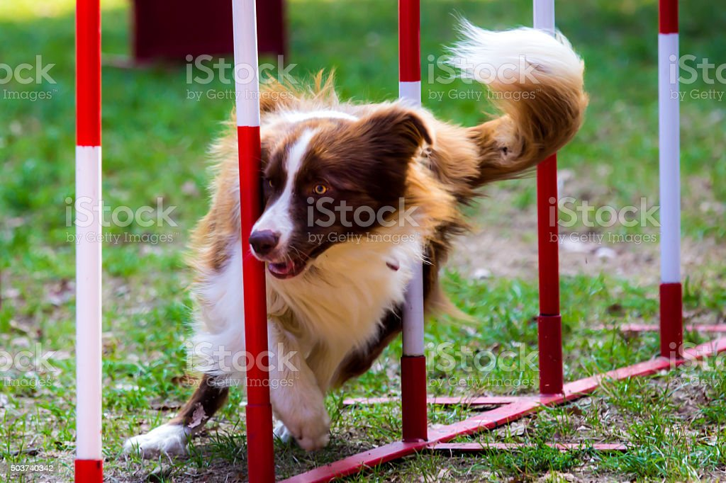 Agility dog with a red border collie stock photo