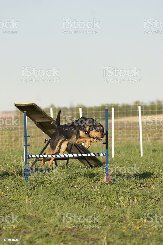 Agility training jump obstacle royalty-free stock photo