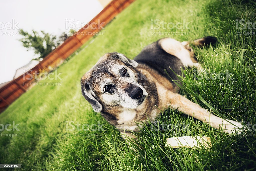 Aging Dog With Rawhide Chew royalty-free stock photo