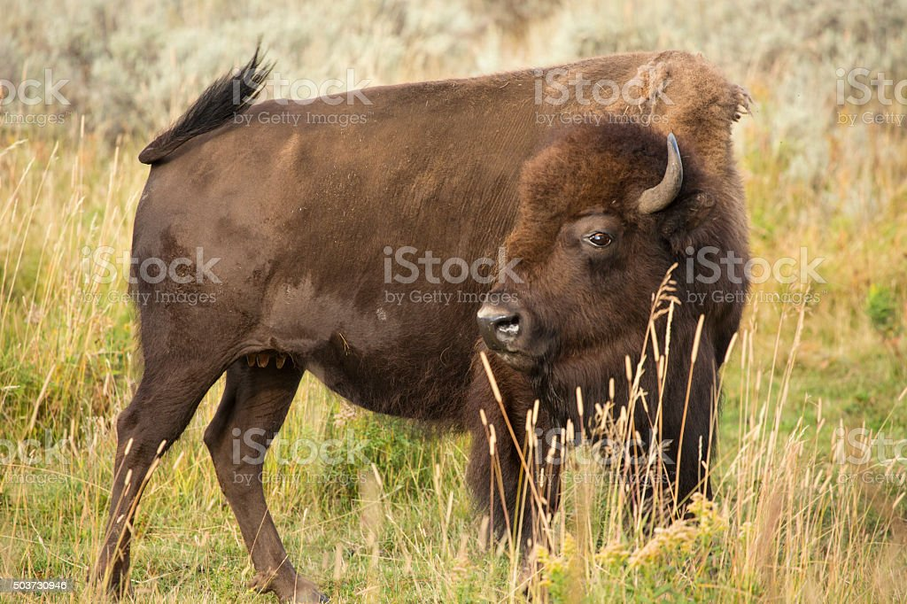 Agitated female bison gesturing in field, Yellowstone National P stock photo