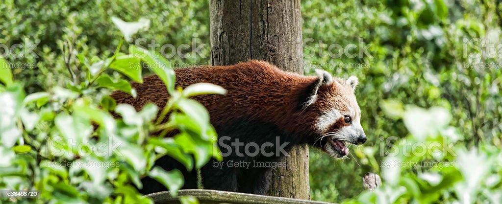 Agitated Red Panda stock photo