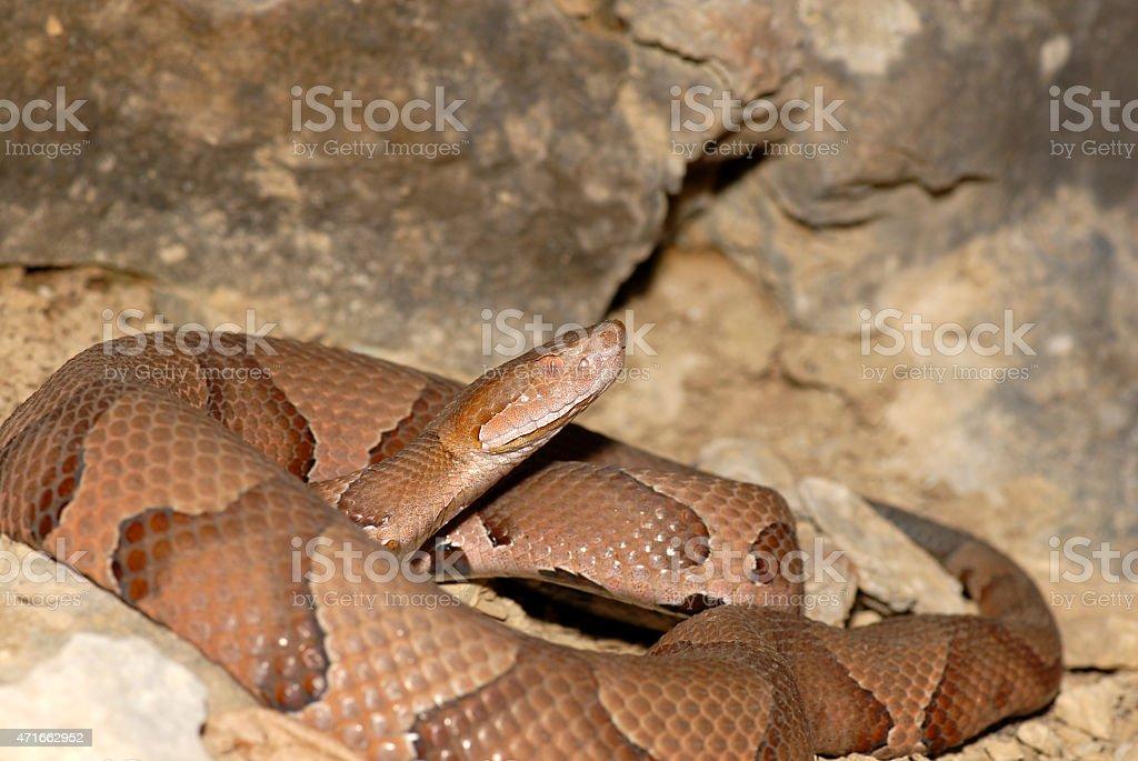 Agkistrodon contortrix phaeogaster stock photo