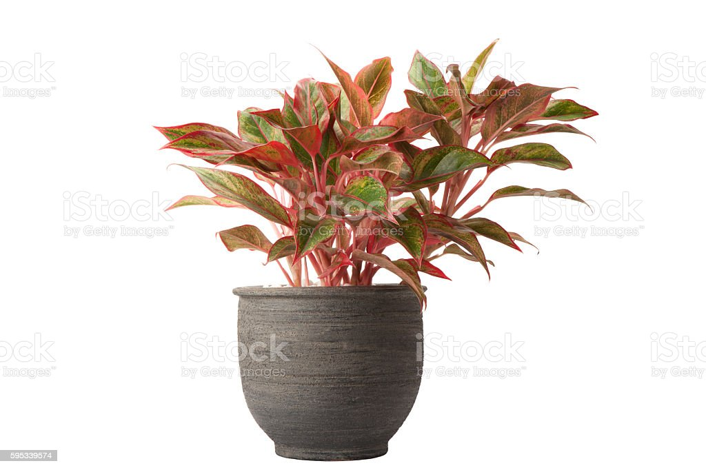 aglaonema in flower pot stock photo