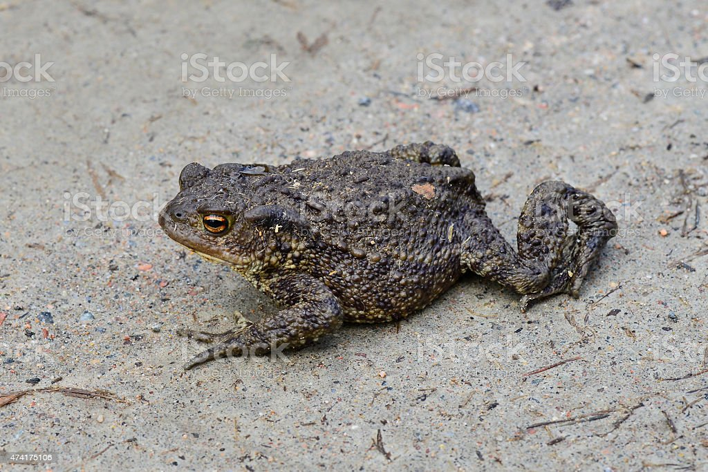 Agly toad stock photo
