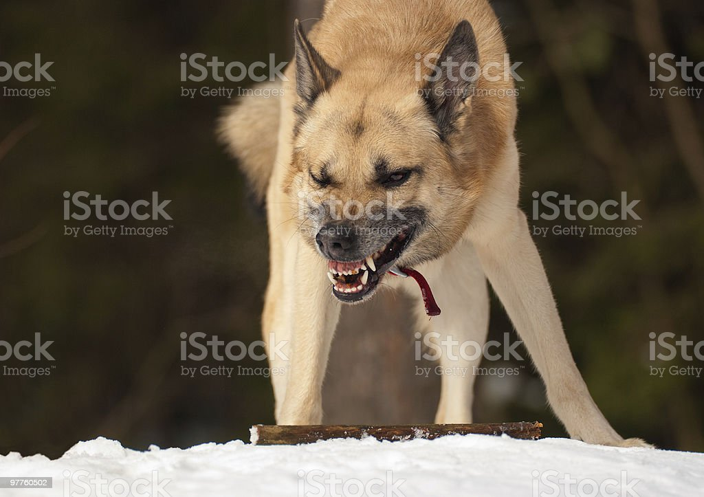 Agressive dog stock photo
