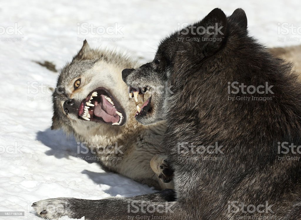 Agressive Wolves In Winter stock photo