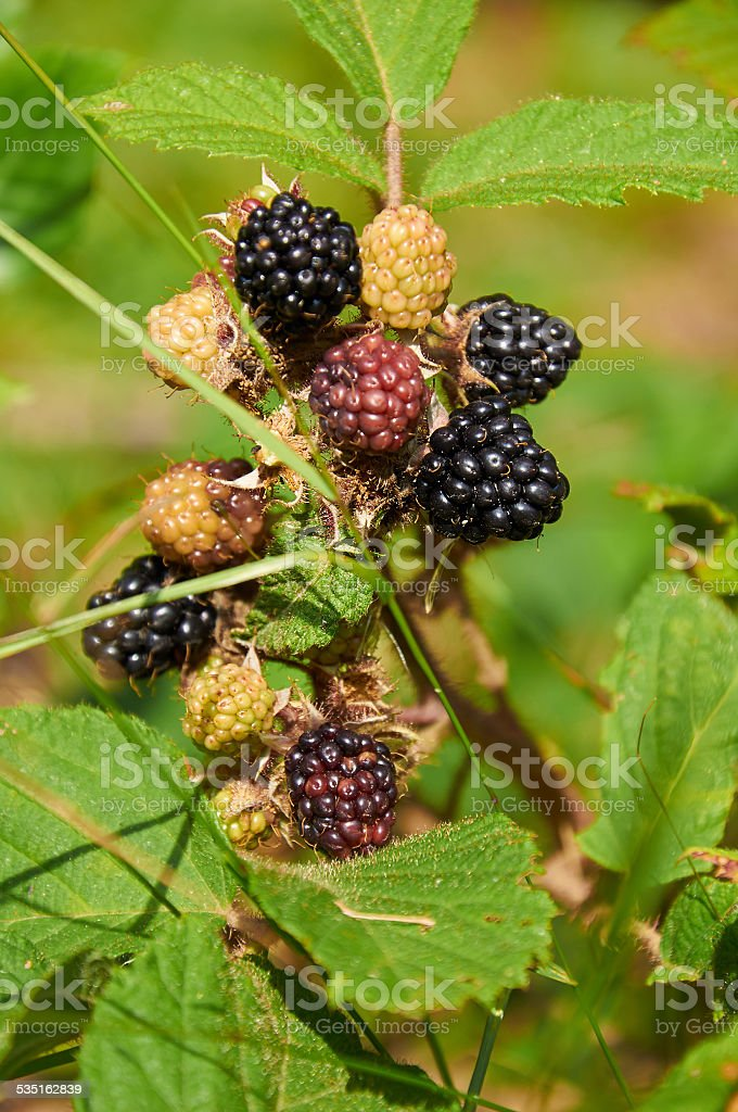 agrestic blackberries stock photo