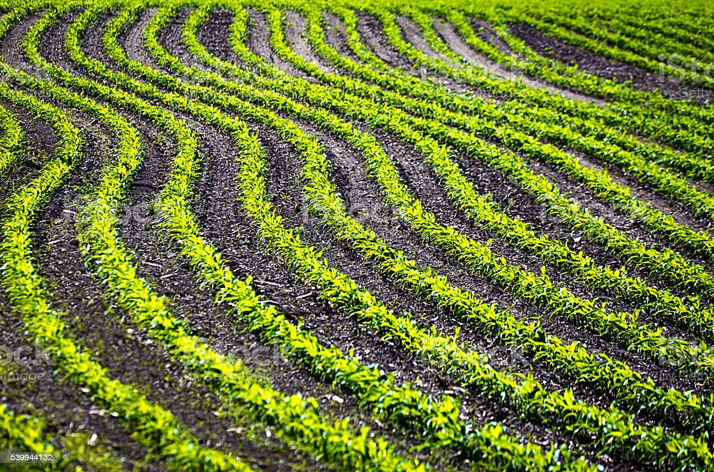 Agricultural Cornfield Seedling in Spring Planting stock photo