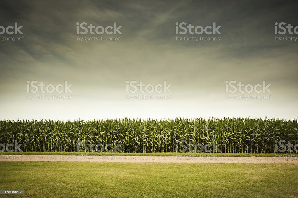 Agricultural Cornfield Under Stormy Sky Forecasts GMO Corn Crop Dangers stock photo