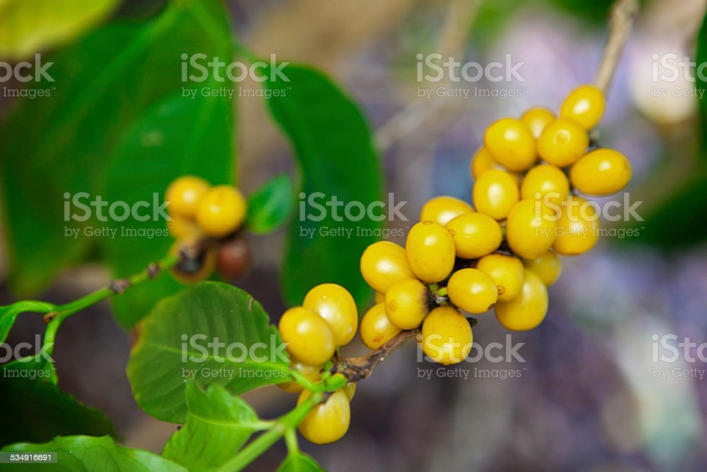 Agricultural Crop Coffee Beans in Hawaiian Islands stock photo