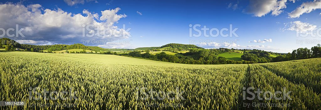 Agricultural crops large panorama. stock photo