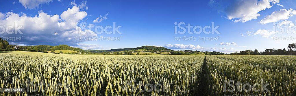 Agricultural crops on a sunny day. royalty-free stock photo
